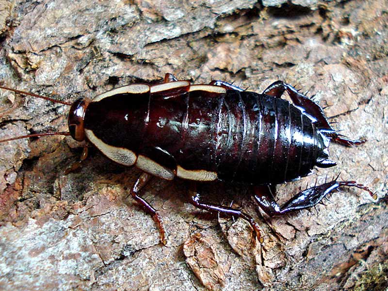 NZ Native Cockroach