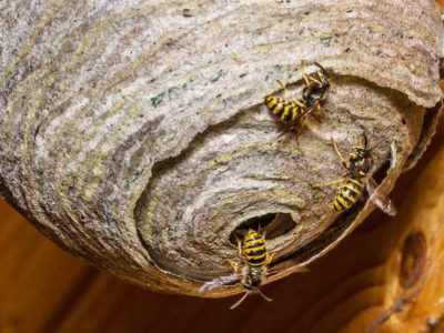 Wasps can build a huge nest in a short time.