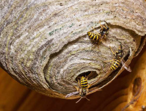 Prompt action commended after wasps found nesting